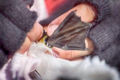 Beringte Dreizehenmöwe des Ornithologen und Attachéc$jps-blockwinde Stockfotos