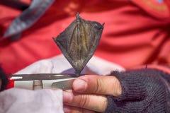 Beringte Dreizehenmöwe des Ornithologen und Attachéc$jps-blockwinde Stockfoto