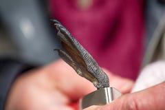 Beringte Dreizehenmöwe des Ornithologen und Attachéc$jps-blockwinde Stockbild