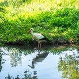 Beringter weißer Storch in einem Teich Stockbild