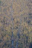 Berk, береза, Betula стоковое фото rf