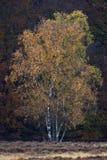 Berk, береза, Betula стоковое изображение rf