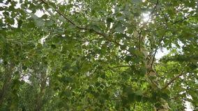 Berk, bladeren, zon stock footage