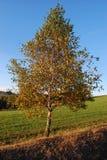 Berk in de herfst Stock Fotografie