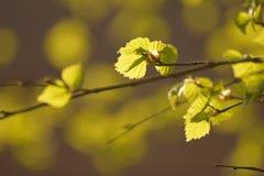 Berk in de lente Royalty-vrije Stock Afbeeldingen