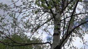 Berk in de lente Panorama van camerabeweging van beneden naar boven op de boomstam stock videobeelden