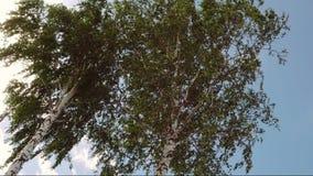 Berk die in de wind slingeren stock footage