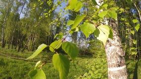 Berk en bladerenbeweging en bos op zonnige dag stock videobeelden