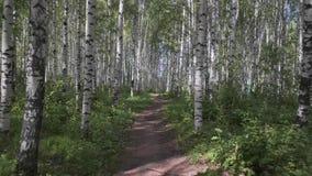 Berk en esdoorn in het bosje van de het landschapsberk van de de zomer boszomer stock video