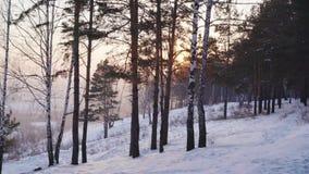 Berk en pijnboom op een sneeuwhelling stock video