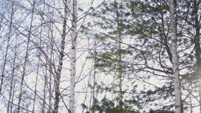 Berk en pijnboombomen in het bos stock footage