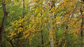 Berk in het bos stock footage