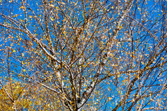 Berk met gele bladeren Stock Foto's