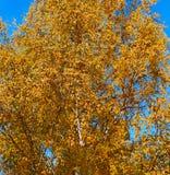 Berk met gele bladeren op achtergrond van blauwe hemel Royalty-vrije Stock Afbeelding