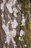 Berk met groen mos wordt behandeld dat stock afbeeldingen