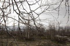 Berk naakte takken in het vroege de lentebos Stock Afbeelding