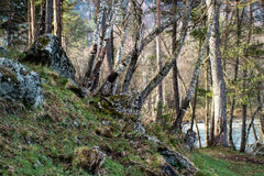 Berk op de berghelling Stock Fotografie