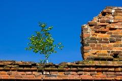 Berk op ruïnes Stock Afbeeldingen