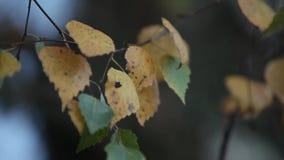Berkbladeren in de herfst op de boom stock footage