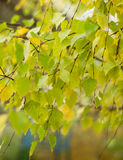 Berkbladeren op de tak Stock Foto's