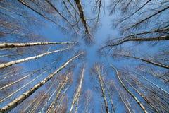Berkbomen. Stock Afbeeldingen