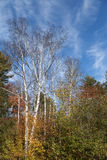 Berkbomen in Daling Stock Afbeeldingen