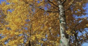 Berkbomen in de herfst stock video
