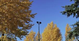 Berkbomen in de herfst stock videobeelden