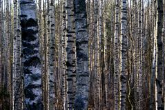 Berkbomen in de Herfst Stock Foto