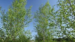 Berkbomen in de lente met blauwe hemel stock video