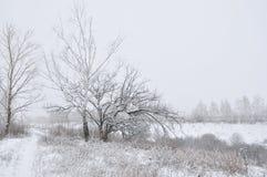 Berkbomen in de winter Royalty-vrije Stock Afbeelding