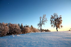 Berkbomen in de winter Stock Afbeelding