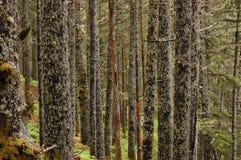 Berkbomen in een bemost bos royalty-vrije stock afbeeldingen