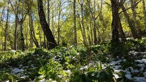 Berkbomen in het bos Stock Foto