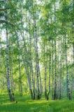 Berkbomen met jong gebladerte in een de zomerbos Royalty-vrije Stock Afbeelding