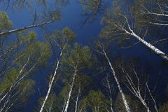 Berkbomen met zachte groene bladeren tegen de achtergrond van de de lentehemel stock afbeeldingen
