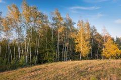 Berkbomen op de rand van het bos Stock Afbeeldingen