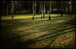 Berkbomen in park Stock Afbeelding