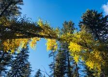 Berkboog in de herfstbos Stock Afbeeldingen