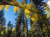 Berkboog in de herfstbos Royalty-vrije Stock Afbeeldingen