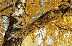Berkboom Stock Afbeeldingen