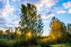 Berkboom bij zonsondergang Royalty-vrije Stock Fotografie