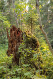 Berkboom in de wind in het landschap van de de zomerberg van polair aangaande Royalty-vrije Stock Afbeelding