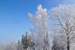 Berkboom door sneeuw en rijp wordt behandeld die stock afbeelding