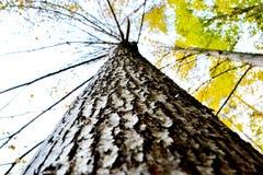 Berkboom in Litouwen stock fotografie