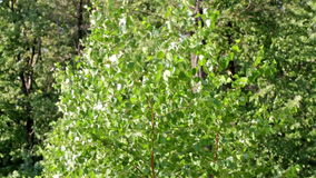 Berkboom op de wind stock video