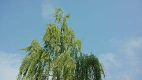 Berkboom tegen een Blauwe Hemel stock footage
