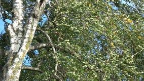 Berkboomstam en takken met bladeren op windachtergrond stock videobeelden
