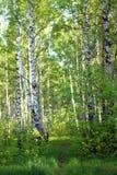 Berkboomstam in het de lente groene bos, groene gras, in de middag, in de wildernis, close-up stock fotografie