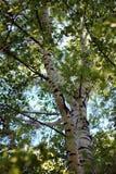Berkboomstam in het de lente groene bos, in de middag, in de wildernis, close-up stock afbeeldingen